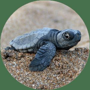 turtle san juan del sur